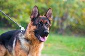 Portrait of a German Shepherd Dog on leash.