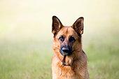 german shepherd dog portrait - looking at cameragerman shepherd dog portrait - looking at camera