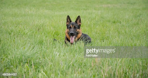 German shepherd dog, portrait : Stock Photo
