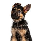 German Shepherd Dog puppy (3 months old)