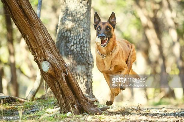 German Shepherd Dog running in forest