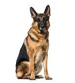 German Shepherd dog sitting against white background