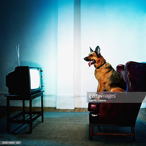 German Shepherd dog sitting on chair watching television