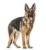 German Shepherd Dog standing and panting, isolated on white