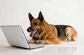 German Shepherd dog using a laptop