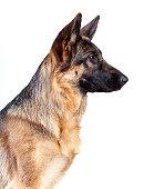 German Shepherd isolated on white background, studio shot.