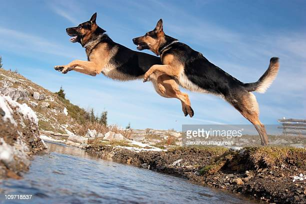German Shepherd Jumping Over Spring