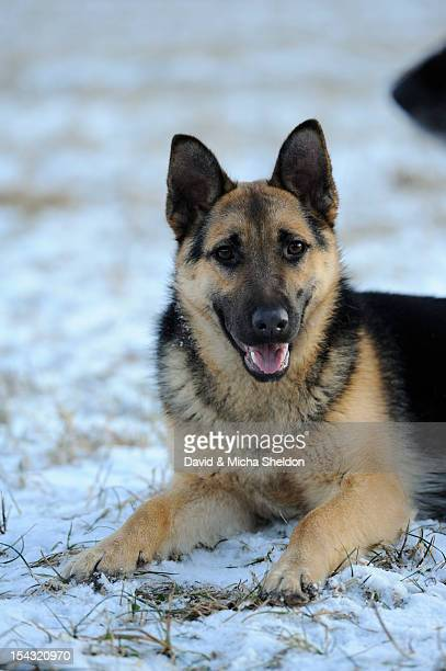 German Shepherd lying on snow-covered meadow
