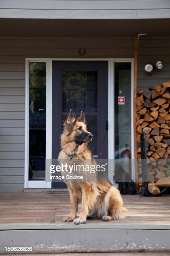 German shepherd on house porch : Stock Photo