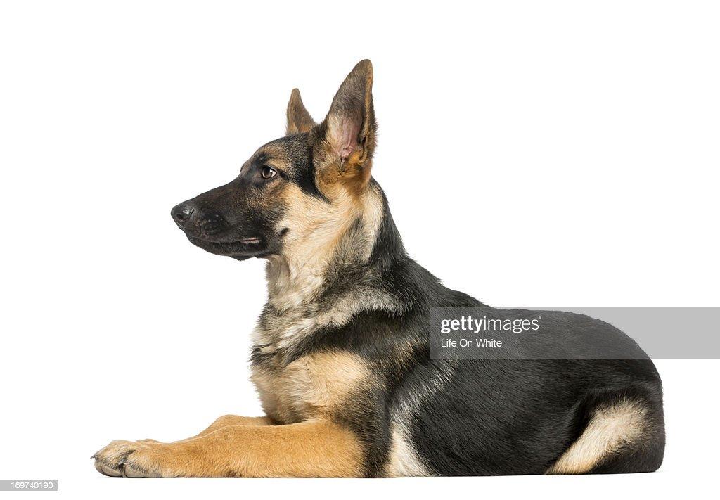 German Shepherd : Stock Photo