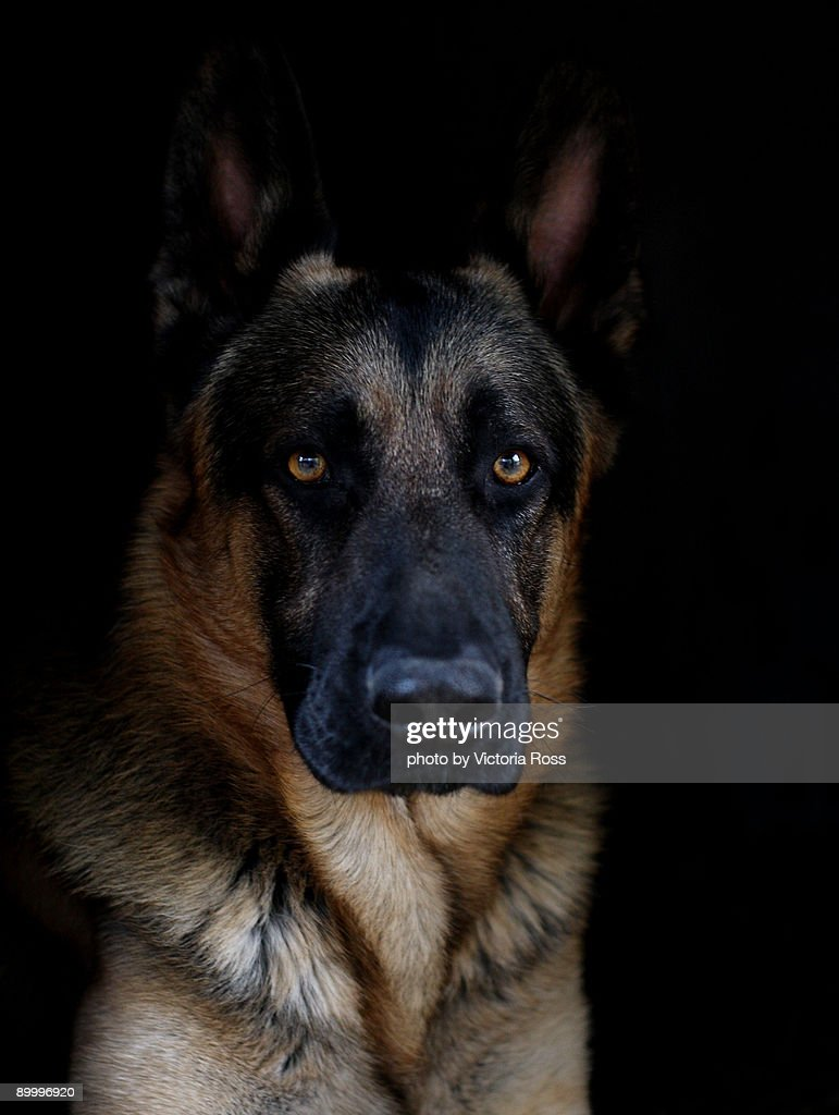 German shepherd ( Logan) : Stock Photo