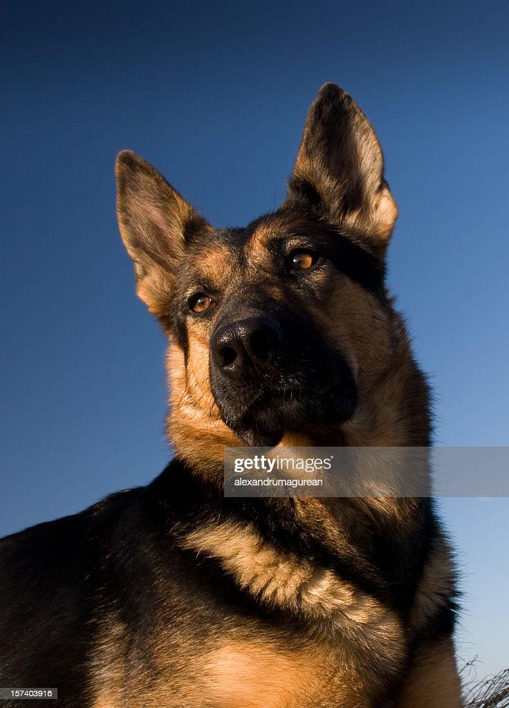 German Shepherd Portrait : Stock Photo