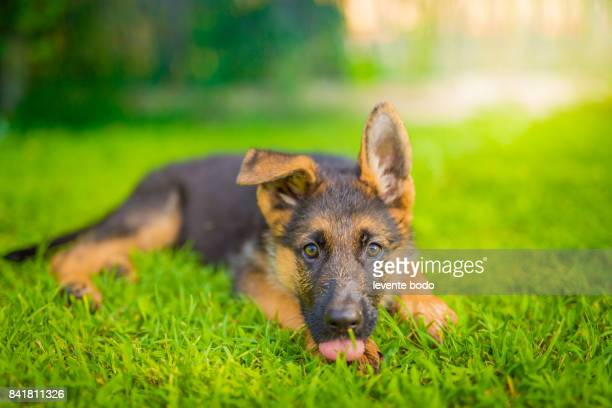 German shepherd puppy in the grass laying down