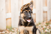 This is an image of an adorable german shepherd puppy with floppy ears. Shot with a shallow depth of field.