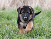 Purebred young German Shepherd dog puppy running around outdoors on a grass field on a sunny spring day.