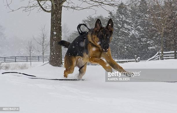 A German Shepherd romps through the snow during a storm March 5 2015 in Manassas Virginia AFP PHOTO / KAREN BLEIER