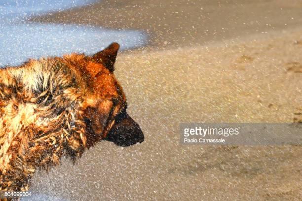 German shepherd shaking off water, Italy