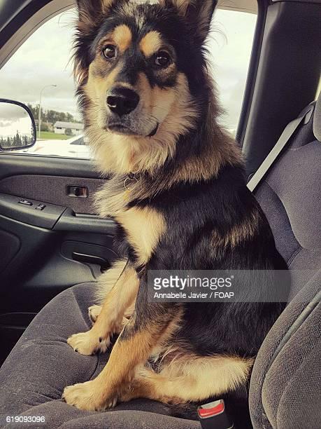 German Shepherd sitting in vehicle