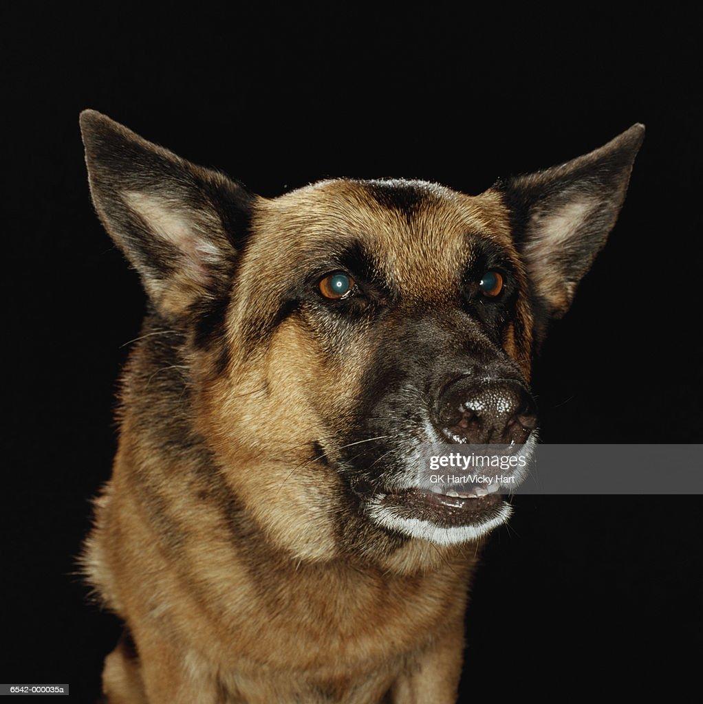German Shepherd Snarling : Stock Photo