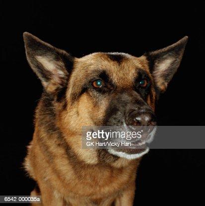 German Shepherd Snarling : Foto de stock