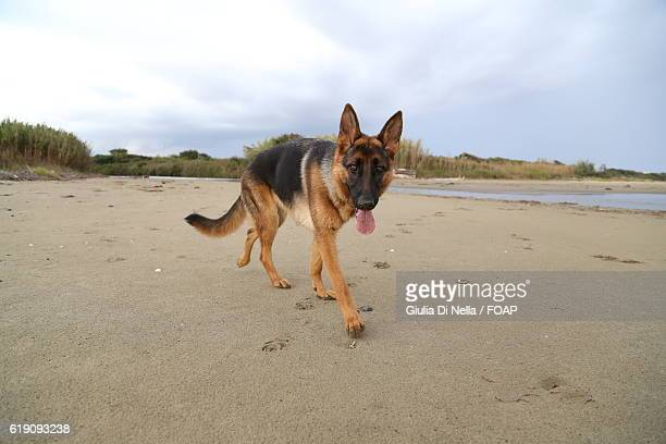 German shepherd walking on beach