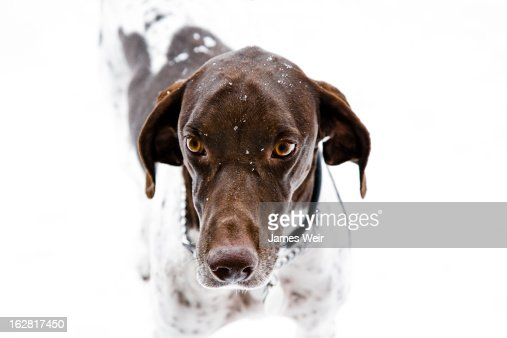 German Shorthair Pointer in snow : Stock Photo