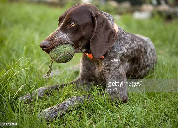 German Shorthaired Pointer on grass with tennis ball in mouth