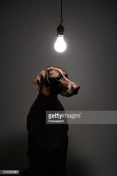 German Shorthaired Pointer with lit lightbulb hanging above.