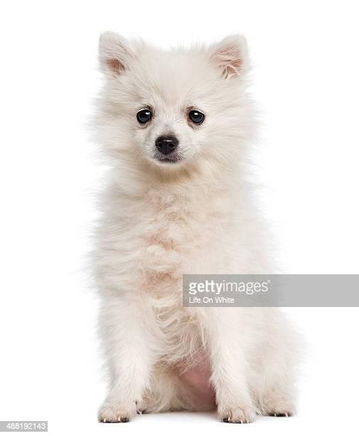 German Spitz puppy sitting