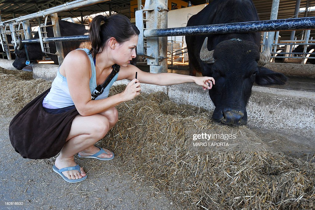 German tourist pets a water buffalo at the Tenuta Vannulo dairy farm in Capaccio on September 3, 2013. A queue forms for rub-downs as jazz piano tinkles out of the speakers: some of the best buffalo mozzarella in the world starts with in-stable VIP treatment. The half-tonne black water buffaloes spend their days lounging on rubber mattresses, munching on organic hay or looking forward to vaporised showers that form a fine cooling mist from overhead pipes. AFP PHOTO / MARIO LAPORTA