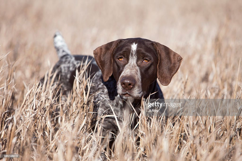German Wirehair Pointer Upland Bird Hunting in Midwest.