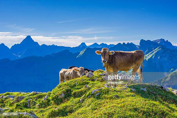 Germany, Allgaeu, young brown cattle on an Alpine meadow near Oberstdorf