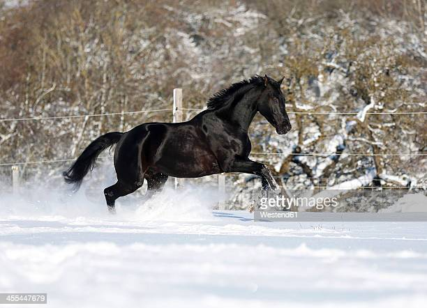 Germany, Baden Wuerttemberg, Black horse running in snow