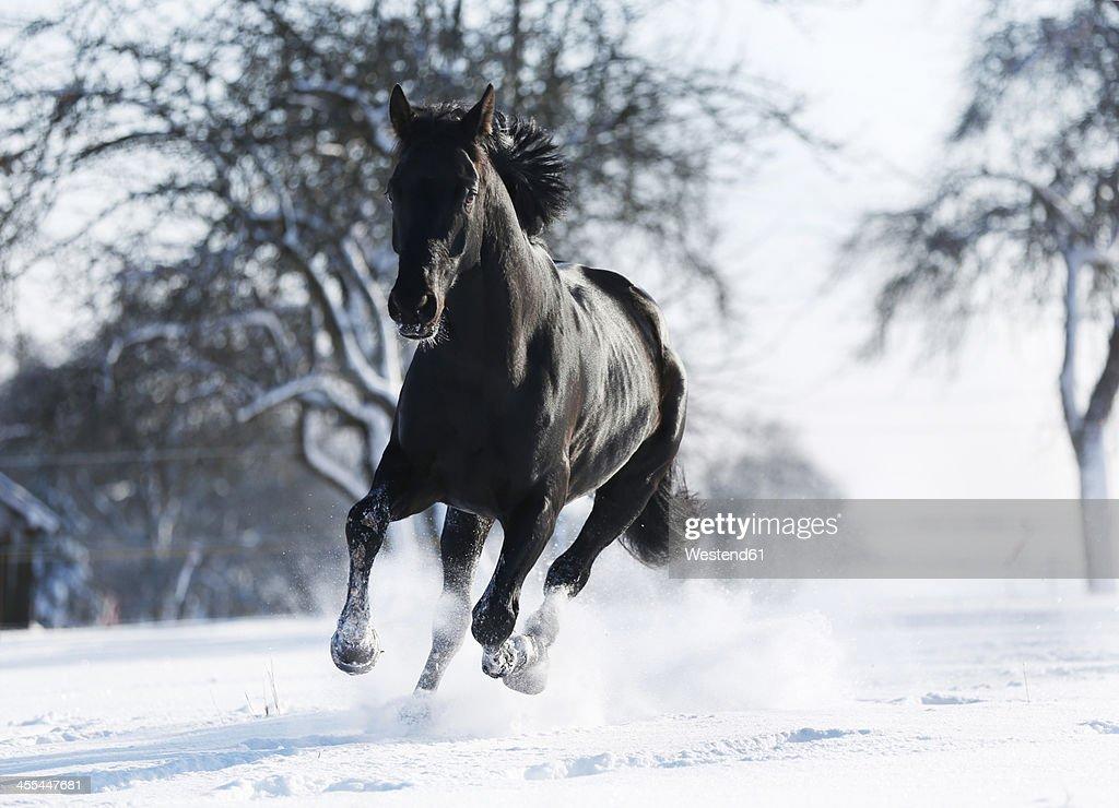 Black horses running in snow