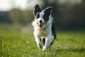 Germany, Baden Wuerttemberg, Border Collie dog running on grass