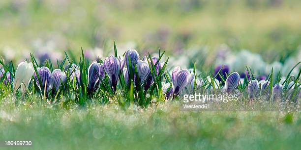Germany, Baden Wuerttemberg, Crocus flowers, close up