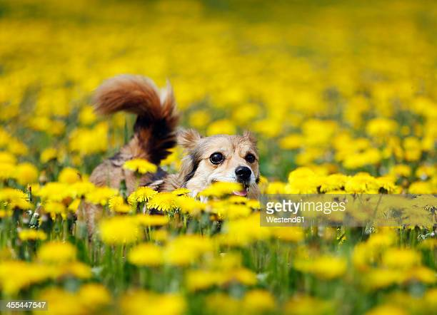 Germany, Baden Wuerttemberg, Mixed breed dog running in meadow