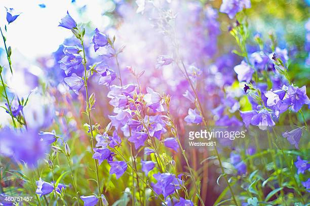 Germany, Baden Wuerttemberg, Stuttgart, Bellflower in garden, close up