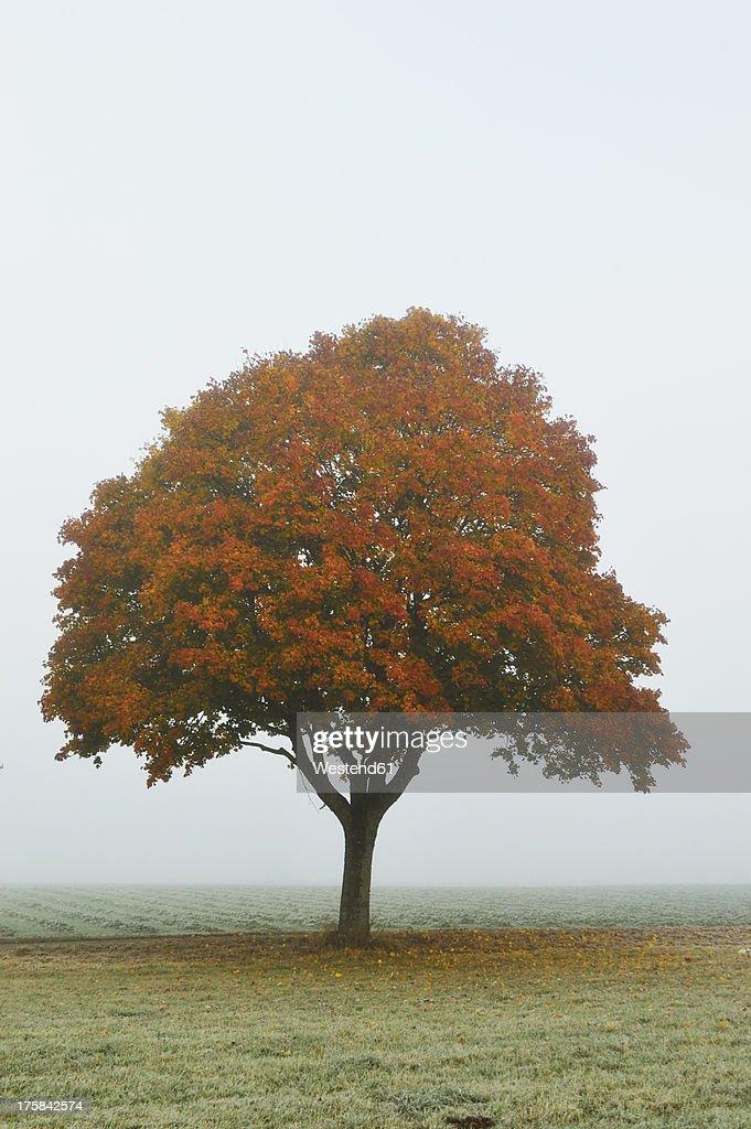 Germany, Baden Wuerttemberg, Villingen Schwenningen, Maple tree in autumn