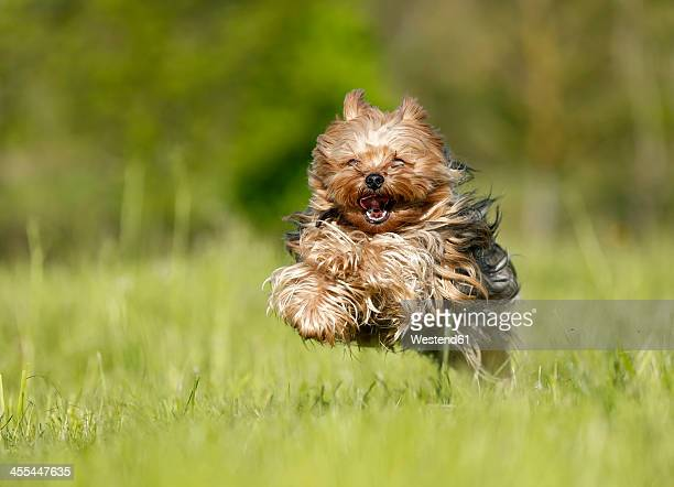 Germany, Baden Wuerttemberg, Yorkshire Terrier dog running on grass