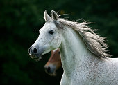 Germany, Baden-Wuerttemberg, Arabian horse, Equus ferus caballus