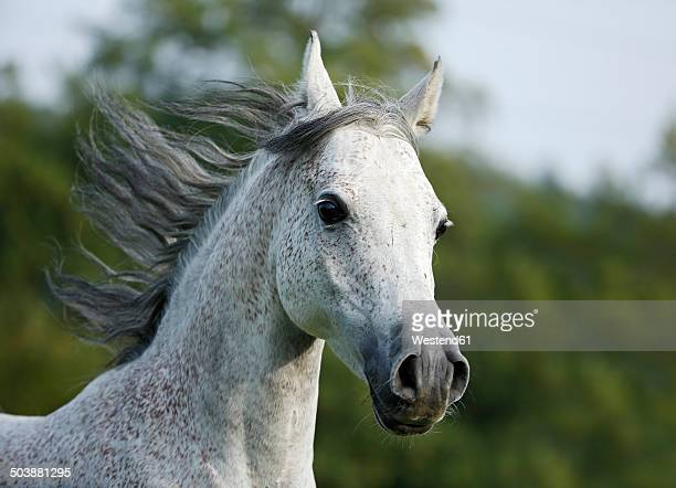 Germany, Baden-Wuerttemberg, Arabian horse, Equus ferus caballus, galloping