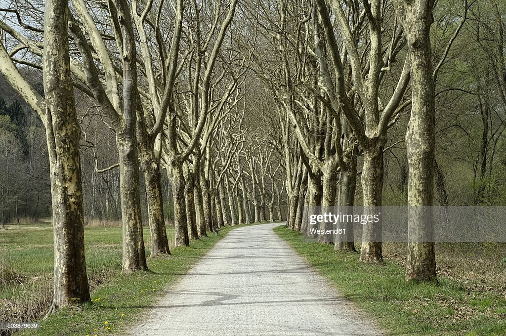 Germany, Baden-Wuerttemberg, Constance district, Avenue of plane trees, Platanus