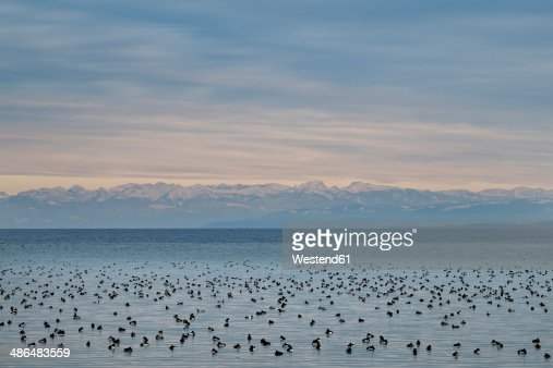 Germany, Baden-Wuerttemberg, Constance, Lake Constanceview to Swiss Alps with many water birds in front