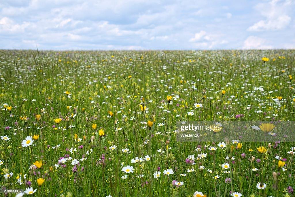 Germany, Baden-Wuerttemberg, Flower meadow