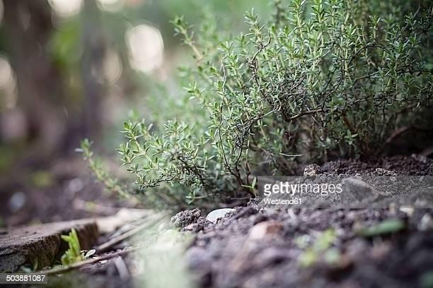 Germany, Baden-Wuerttemberg, Garden thyme, Thymus vulgaris, in garden