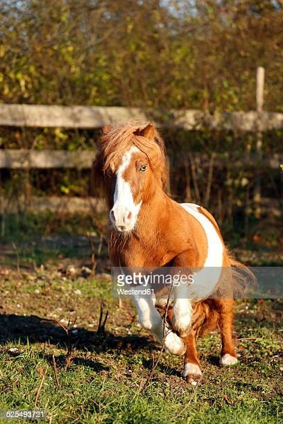 Germany, Baden-Wuerttemberg, Hohenlohe, Minishetty pony, Equus ferus caballus, Skewbald horse, Stud galloping