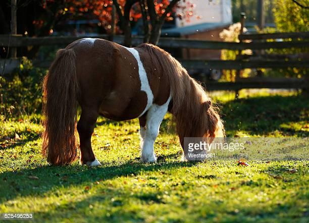 Germany, Baden-Wuerttemberg, Hohenlohe, Minishetty pony, Equus ferus caballus, Skewbald horse, Stud grazing