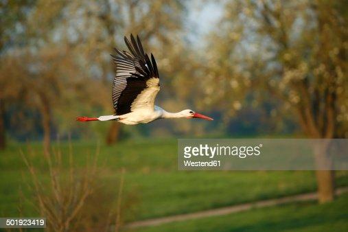 Germany, Baden-Wuerttemberg, Hohenlohe, White stork, Ciconia ciconia, flying