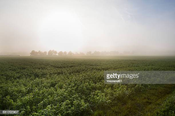 Germany, Baden-Wuerttemberg, near Tuebingen, field with red clover in the morning fog